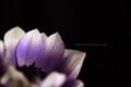 [花]アネモネ「ポルト」2