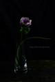 [花]アネモネ「ポルト」1