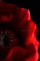 [花]アネモネ「吹き詰め咲き」2