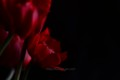 [花]アネモネ「吹き詰め咲き」1