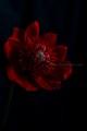 [花]アネモネ「吹き詰め咲き」3