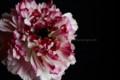 [花]ラナンキュラス「シャルロット」