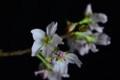 [花]桜「啓翁桜」2