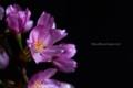 [花]桜「雅」2