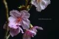 [花]桜「陽光」2