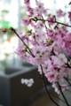 [花]桜「陽光」3