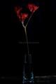 [花]ヤトロファ「ポダグリカ」1