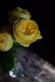[花]バラ「カタリナ」1