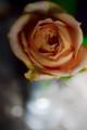[花]バラ「キャラメルアンティーク」2