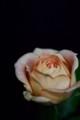 [花]バラ「キャラメルアンティーク」1