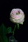 バラ「テアトロ」2
