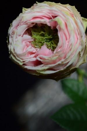 バラ「テアトロ」1