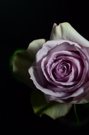 バラ「ライラッククラシック」2
