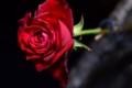 [花]バラ「ヴァニティルージュ」1