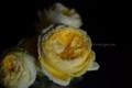 [花]バラ「カタリナ」2
