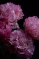 [花]中曾根さんのトルコキキョウ中曾根さんのトルコキキョウ8