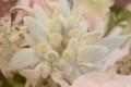 [花]エーデルワイス