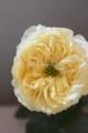 [花]バラ「オール4ロマン」