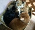 猫 MIX猫 多頭飼い