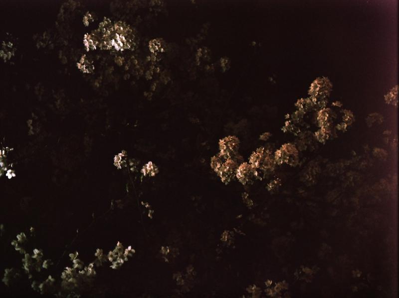 [夜][桜]