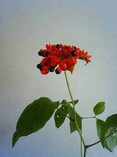 f:id:kusaboshi:20080907110200j:image