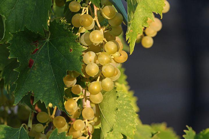 よく実った果実(ぶどう) 豊かな果実の写真