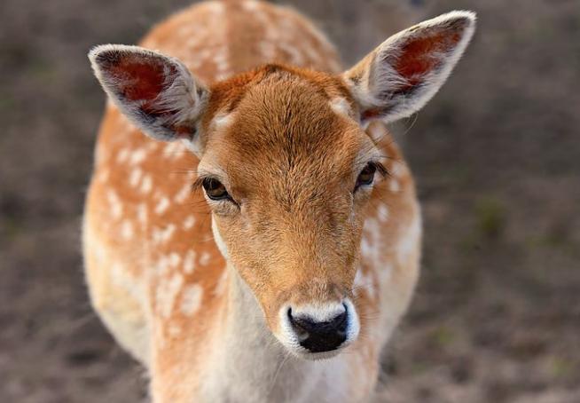 子鹿がこちらを興味をもって見ている