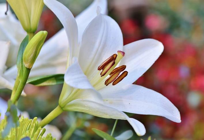 美しく咲いている百合の花。爽やかな春のイメージ