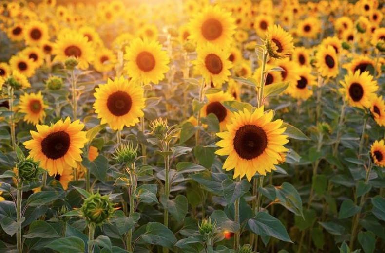 大輪のひまわりが一面に咲いている将来性を感じさせる風景
