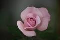 四季の郷薔薇