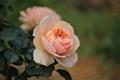 秋薔薇です