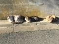 [猫][野良猫][田代島]猫いっぱい3