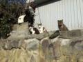 [猫][野良猫][田代島]猫いっぱい7