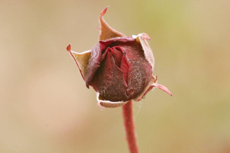冬薔薇紅く咲かんと黒みもつ 細見綾子