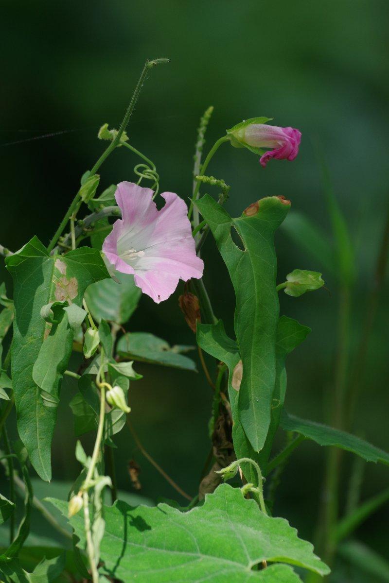 昼顔の咲きて草地のやさしまれ 細見綾子