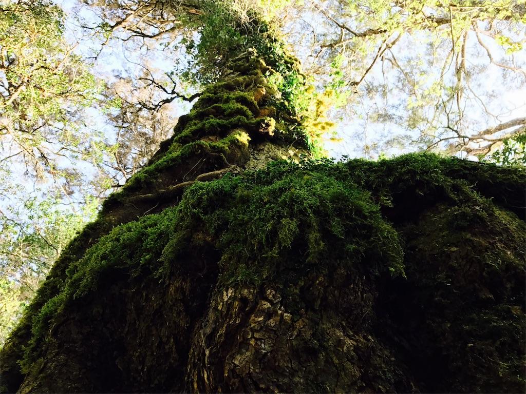 コケむした大木
