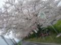 [桜][花見][flower blossom][南河内サイクルライン][BikeFriday PocketPilot]2010/04/05 石川サイクリングロードにて