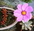 [コスモス][多肉植物]多肉の鉢に飛んできた種はコスモスだったと判明