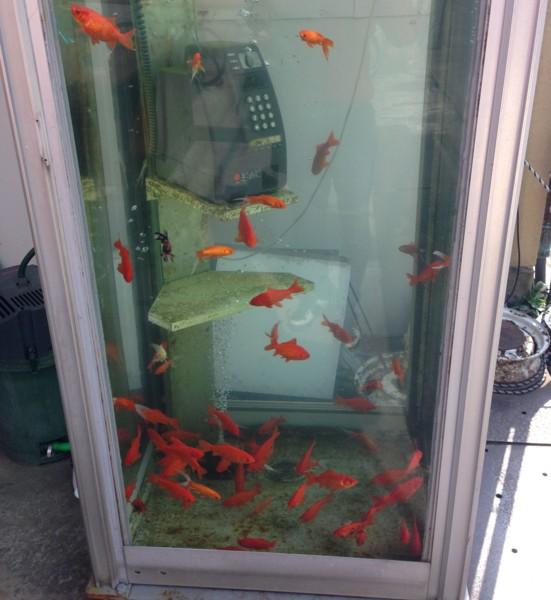 金魚が中にいる電話ボックス(大和郡山市)