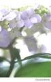 [Nikon FE][Velvia][リバーサルフィルム][TAMRON 初代SP90mm Model 52B][90mm][アジサイ][紫陽花][アジサイ][花]ひかり