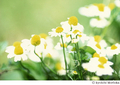 [Nikon FE][TAMRON 初代SP90mm Model 52B][Velvia][リバーサルフィルム][カミツレ][花]ひかり