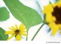 [Nikon FE][TAMRON 初代SP90mm Model 52B][Velvia][リバーサルフィルム][ヒマワリ][花]ひかり