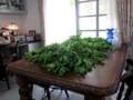ミントの収穫