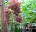 色づいて来た葡萄