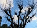 見上げる杏の木にも固い蕾がびっしり