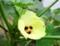 2016−8−8オクラの花