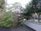 倒れ杏の木
