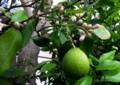 四季咲きレモンは実と花が同時に