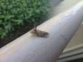 ミミヅクカメムシ