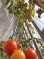 トマトの冬越し